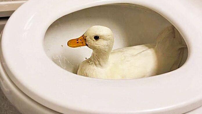 AFLDS Quacks in trouble